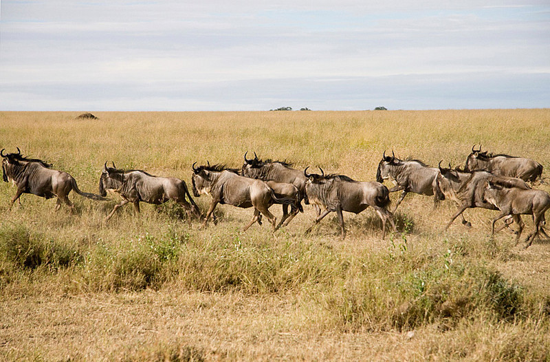 Blue Wildebeest on the move, Serengeti National Park, Tanzania. ©Peter Candido All Rights Reserved
