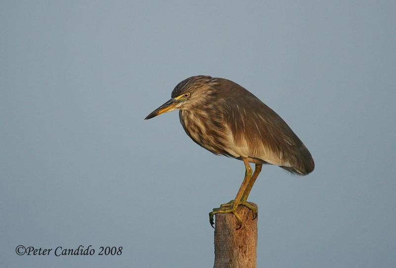 Birds of India